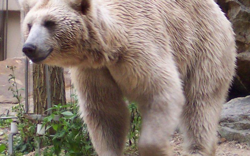 Как рисовать бурого медведя