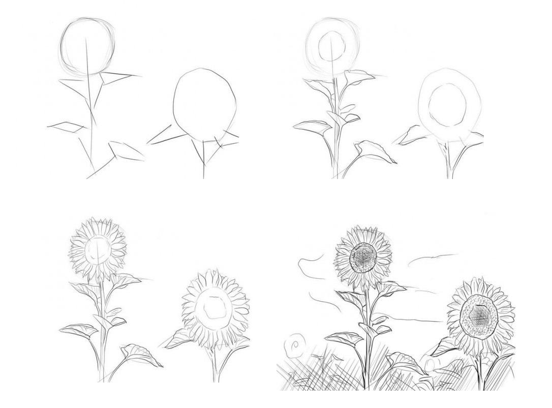Как-нарисовать-подсолнух-карандашом-поэтапно-1-470x352
